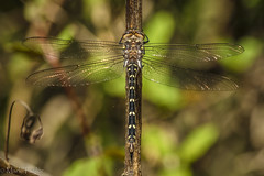 Two-spotted Spiketail (*Ranger*) Tags: nikond3300 nature outdoor tennessee usa dragonfly perching odonata