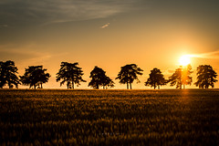 (z e d s p i c s™) Tags: sunset field sundown keszthely magyarország hungary hongarije alley pine zedspics 1806