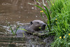 Beaver, Bamff Estate (Karen Miller Photography) Tags: beaver bamff perthshire scotland scottishwildlife nature nikon habitat behaviour
