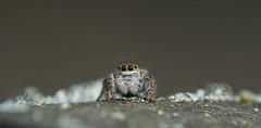 Carrhotus xanthogramma (Latreille, 1819), female (Benjamin Fabian) Tags: animal jumping spider cute face eyes eye salticidae