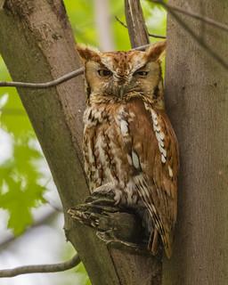 Eastern Screech Owl (5-18-18)