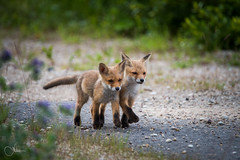 Teens (Incredible Imagination) Tags: fox foxes baby animals wildlife nikon bokeh teens estonia eesti avinurme