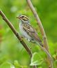 Inquisitive Are We? (ebirdman) Tags: claycolouredsparrow claycoloured sparrow spizellapallida spizella pallida