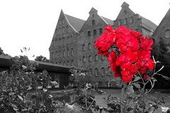 Roses are red (Von Noorden) Tags: noiretblanc einfarbig wand black white blackandwhite bw sw schwarzweiss topv germany schwarz weiss weis schwarzweis shade monochrome plain lübeck holstentor holstengate city tourism brick bricks gothic altstadt hanseatic baltic street streets mauer wall citadel gate deutschland windows gebäude architektur unesco schatten town urban oldtown experimental luebeck tower castle schloss burg festung fortress fort stronghold garrison chateau palace colour colouring selective selektiv rose roses red flower flowers plant blossom blüte bloom efflorescence salzspeicher rosa nature