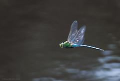 regal 24/52 (sure2talk) Tags: regal emperordragonfly anaximperator dragonfly dragon nikond60 nikkor70300mmf4556afsifedvr flight pond water 52weeksfornotdogs 2452