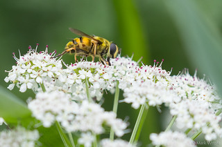 Hoverfly 5