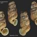 colonella mariguanensis bahamas 6mm7