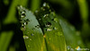 Water drops (jklaroche) Tags: daylilyleaves extensiontubes flowers waterdrops