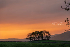 _DSC.0004  - Wensleydale Glow... (SWJuk) Tags: swjuk uk unitedkingdom gb britain england yorkshire yorkshiredales dales wensleydale gayle farm gaudyhousefarm trees stand copse hills hillside moors moorland sunset silhouette fields farmland colourful colours orange 2018 may2018 spring nikon d7100 nikond7100 rawnef lightroomclassiccc 18300mm