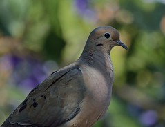 Just Dovely (ACEZandEIGHTZ) Tags: bokeh nikon d3200 dove mourning macroura zenaida backyard birdwatcher macro closeup portrait nature