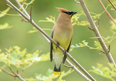Cedar Wax-Wing (aj4095) Tags: cedar wax wing bird nature wildlife ontario birding