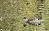 Reflets et camouflage ! (jean-daniel david) Tags: réservenaturelle yverdonlesbains suisse suisseromande vaud nature oiseau oiseaudeau lac lacdeneuchâtel volatile canard canardchipeau femelle eau