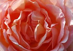 DSC_2452 (PeaTJay) Tags: nikond70s reading berkshire lowerearley outdoors gardens flowers plants fuchsia rose roses rosebuds