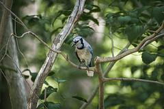 RBG Jay (KWPashuk) Tags: nikon d7200 tamron tamron18400mm lightroom luminar luminar2018 kwpashuk kevinpashuk bluejay jay blue bird nature wildlife urbanwildlife outdoors royalbotanicalgardens burlington ontario canada