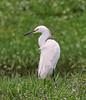 05-28-18-0020149 (Lake Worth) Tags: animal animals bird birds birdwatcher everglades southflorida feathers florida nature outdoor outdoors waterbirds wetlands wildlife wings