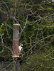 Piliated Woodpecker at Welsh Birdfeeder (catchesthelight) Tags: nwales uk hilly rural scenes woodpecker piliatedwoodpecker