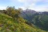 Yellow Flower Mountain Slope (aaronrhawkins) Tags: wildflower flower mountain slope hill peak buffalo provo utah summit range hike color yellow green spring summer edge nature natural beautiful aaronhawkins