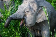 A good snack (iamfisheye) Tags: 300mm kinabatanganriver nikon f4 d500 borneanpygmyelephant elephant pf borneoapril2018 animal