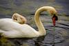 Cygnets_DSC4310 (adventure_photography) Tags: cygnets swan swans ambleside pond