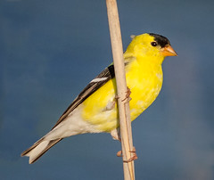 Male Goldfinch (tresed47) Tags: 2016 201605may 2018 201805may 20180524bombayhookbirds birds bombayhook canon7d content delaware finch folder goldfinch may peterscamera petersphotos places season spring takenby us