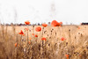 poppies (thethomsn) Tags: poppies flowers farming nature countryside outdoors day germany mohnblumen feld field corn barley thethomsn canon 6dmk2 50mm summer
