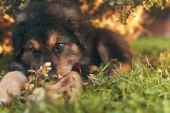 (Sabrina-Romano) Tags: puppy dog pet animal sweetness sweet photography nikond90 italia 35mm prime lens portrait portraiture nature outside green garden macro