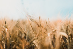 barley close-up (thethomsn) Tags: barley closeup corn field nature background soft focus outdoors day farming food creamy color canon 6dmk2 50mm thethomsn countryside