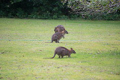 Australia_2018-254.jpg (emmachachere) Tags: subtropical trees hike waterfall boatride springbrook australia rainforest kanagroo animals koala brisbane boat lonepinekoalasanctuary