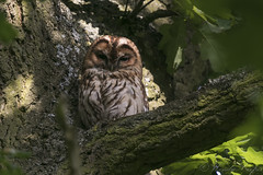 Tawny Owl-7309 (WendyCoops224) Tags: springwatch 100400mml 80d canon eos localbirdswildlife ©wendycooper tawny owl oak tree birdingmoment