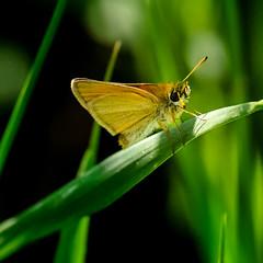 Blade Clinger (Portraying Life, LLC) Tags: da3004 hd14tc k1mkii michigan pentax ricoh unitedstates butterfly closecrop handheld nativelighting skipper meadow grass dbg6
