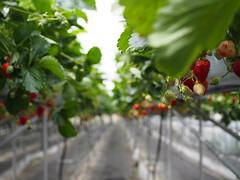 strawberry field... (murozo) Tags: water culture aerial strawberry field farm fruits ugo akita japan green spring 水耕栽培 空中栽培 畑 イチゴ 苺 羽後 秋田 日本 ビニルハウス