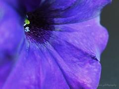 Deep in blue vilolet, happy macro Monday. (natureflower) Tags: happy macro monday blue violet pollen petals petunia