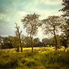 Late evening trees in Co. Antrim (fudgefishmono) Tags: portra160 fujifilm kodak mediumformat 120 film northernireland coantrim ballymoney