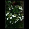 DSC00433 (leeyu_flickr) Tags: 生活 陽明山 花 樹 白 植物 flower tree 華八仙 葉對生 邊緣有刺 花黃色 白色花萼 白蝴蝶
