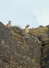 Puma Twins (Glatz Nature Photography) Tags: chile glatznaturephotography magallanes nature nikond850 patagonia southamerica torresdelpainenationalpark wildanimal wildlife puma mountainlion cougar panther mountain eyecontact twins tomcat animalsiblings