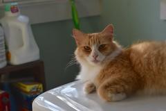 Jimmy (rootcrop54) Tags: jimy orange ginger tabby male longhaired longhair dryer appliance laundryroom light neko macska kedi 猫 kočka kissa γάτα köttur kucing gatto 고양이 kaķis katė katt katze katzen kot кошка mačka gatos maček kitteh chat ネコ
