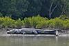 Saltwater Crocodile at Sundarbans (pallab seth) Tags: saltwatercrocodile crocodylusporosus estuarinecrocodile indopacificcrocodile marinecrocodile seacrocodile saltie nature wild sundarbans mangroves biosphere bengal india male