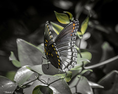Butterfly: Back Turned (that_damn_duck) Tags: nikon nature insect butterfly leaves