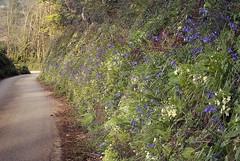 Springtime in Cornwall – roadside flowers (jonathan charles photo) Tags: spring wild flowers primrose bluebell cornwall roadside tubbsmill art photo jonathan charles