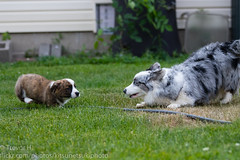 Siblings 1 (Kenjis9965) Tags: luna ravi outside playing cardigan welsh corgi corgo doggo doge adorable fun puppy blue merle brindle red canon70200f28l canoneos7dmarkii canon ef 70200 f28l is ii 70200mm ef70200mmf28lisiiusm