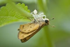 DSC_1395 (ninjabirder) Tags: june2012 leps butterflies fieryskipper