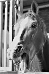 "Sander stallion he enjoys his peppermint :) (sibillahorst) Tags: smileonsaturday comic scene sibillahorst ""comic scene"" comicscene"