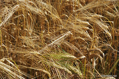 Пшениця, жито, овес InterNetri  Ukraine 030