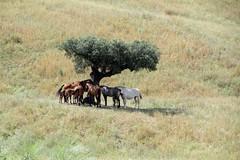 a horses' place (lualba) Tags: animal horse tree nature alentejo portugal sun spring