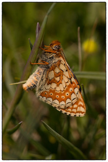 Emerging Marsh Fritillary