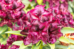 Rhododendron (Bephep2010) Tags: 2016 77 alpha blume blüte bodensee constance deutschland frühling germany insel konstanz lakeconstance mainau makro rhododendron sal50m28 slta77v sony blossom flower island isle macro spring badenwürttemberg de