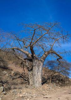 Baobab tree in wadi hinna, Dhofar Governorate, Wadi Hinna, Oman