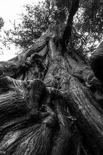 Big Cedar Tree 2