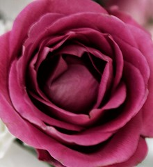 Every life story has layers...just like this rose!😊🌹❤ (LeanneHall3 :-)) Tags: rose pink layers life story flower flowersarefabulous flowersarebeautiful flowerflowerflower closeup closeupphotography macro macrophotography canon 1300d