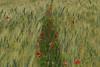 Blés et coquelicots (Michel Seguret Thanks for 12,1 M views !!!) Tags: france herault nature champ field michelseguret poppy poppies coquelicot blé wheat printemps spring nikon pro